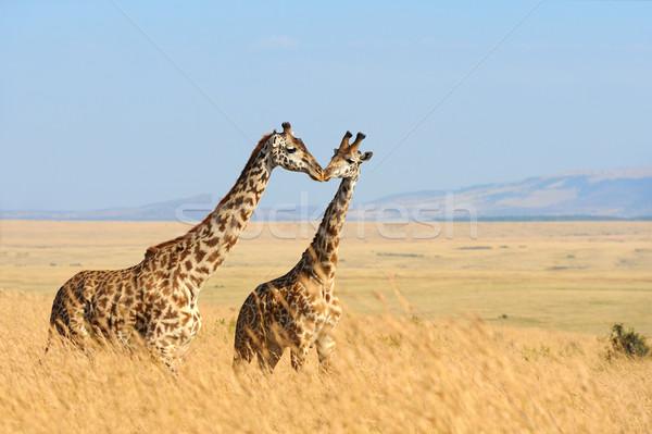 Giraffe park Kenia savanne afrika oog Stockfoto © byrdyak