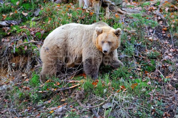 Bruine beer bos groot achtergrond beer bruin Stockfoto © byrdyak