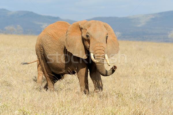 Elefante parque Kenia África bebé hierba Foto stock © byrdyak