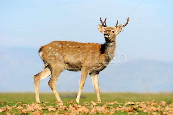 Stock photo: Deer