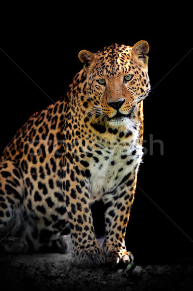 Leopardo adulto naturales medio ambiente ojo Foto stock © byrdyak