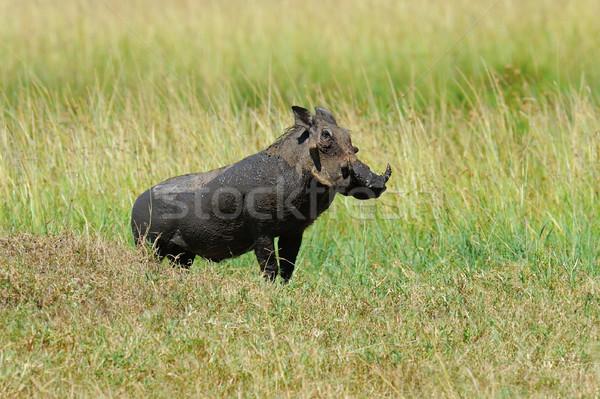 Warthog Stock photo © byrdyak