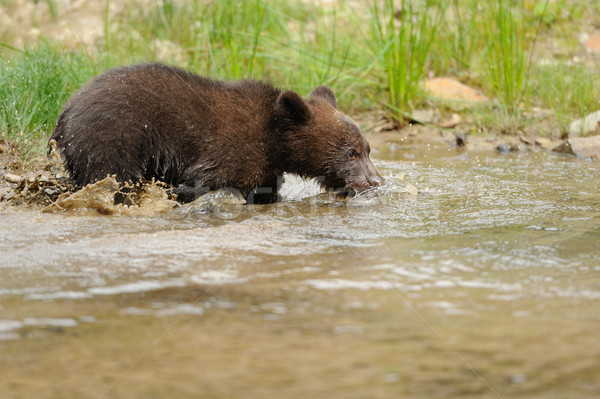 Brown bear cub Stock photo © byrdyak