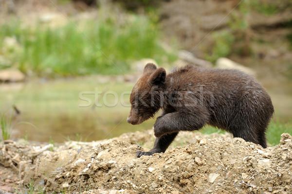 Barnamedve medvebocs erdő naplemente nyár medve Stock fotó © byrdyak
