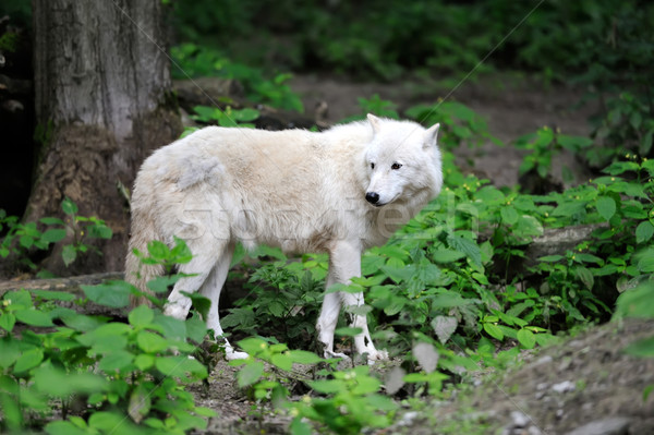 Arctic Wolf Stock photo © byrdyak