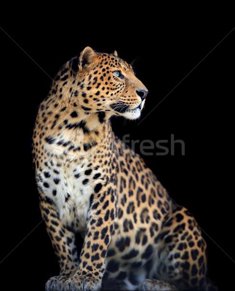 Leopard темно лице природы Сток-фото © byrdyak