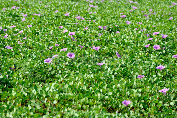 Violet flowers and green grass on the beach Stock photo © byrdyak