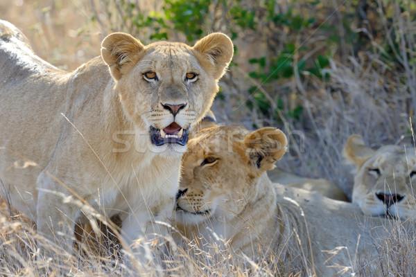 Aslan yakın park Kenya Afrika kedi Stok fotoğraf © byrdyak