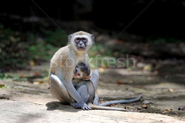 Maymun taş iki genç ağaç bebek Stok fotoğraf © byrdyak