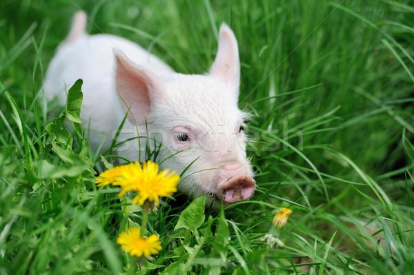 Kismalac tavasz zöld fű farm étel baba Stock fotó © byrdyak