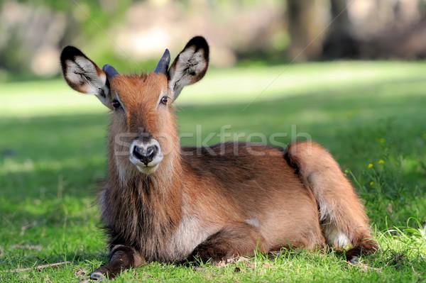 Waterbuck Stock photo © byrdyak