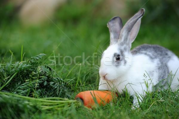 Rabbit Stock photo © byrdyak