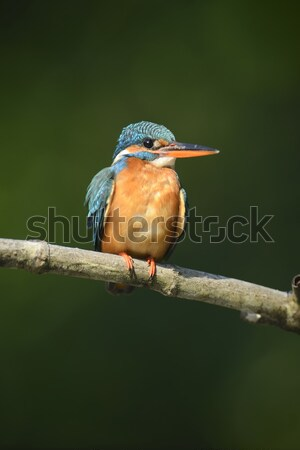 Blau Eisvogel Vogel schönen Zweig Wasser Stock foto © byrdyak