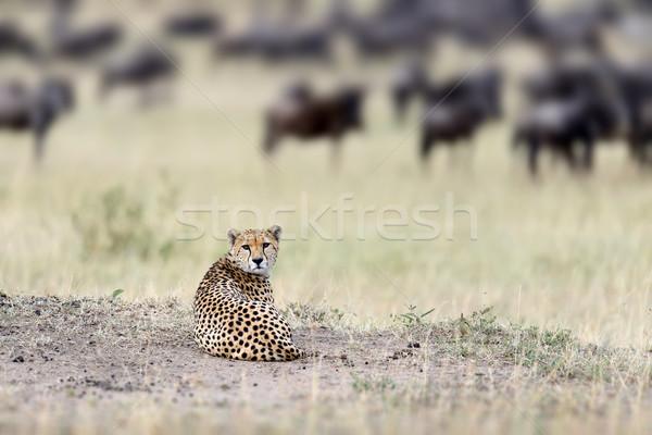 гепард африканских красивой млекопитающее животного Сток-фото © byrdyak