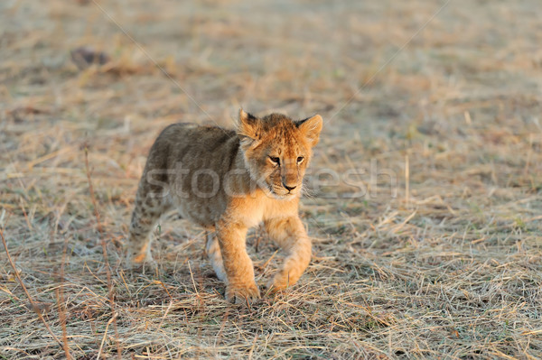 Afrikaanse leeuw welp park Kenia afrika Stockfoto © byrdyak