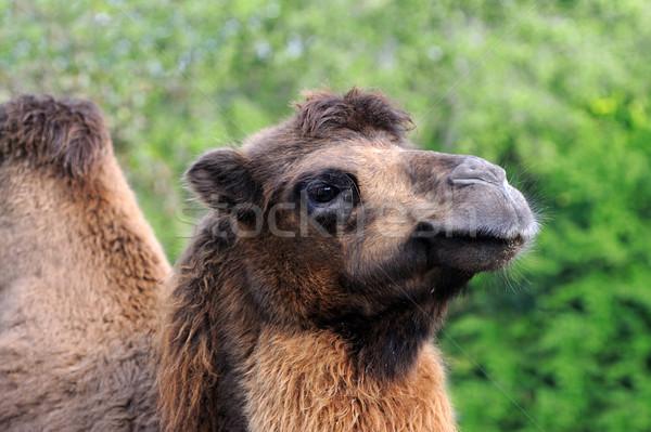 Teve fej természet zöld szem sivatag Stock fotó © byrdyak