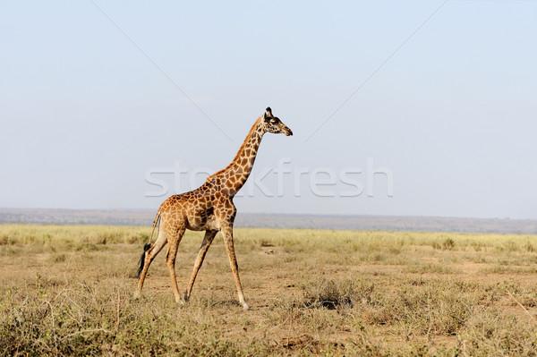 キリン 公園 ケニア アフリカ 眼 顔 ストックフォト © byrdyak