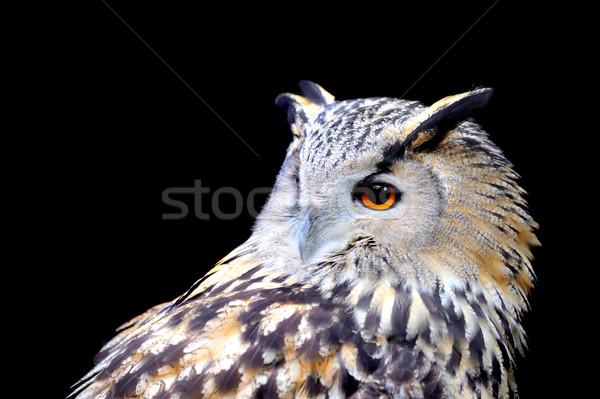 Coruja olho natureza pássaro pena cabeça Foto stock © byrdyak