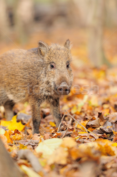 Wild boar Stock photo © byrdyak