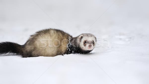Wild fret sneeuw mooie spel leven Stockfoto © byrdyak