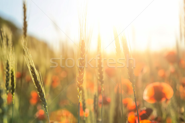 мак ярко красный кукурузы Сток-фото © byrdyak