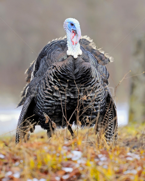 Turkey-cock Stock photo © byrdyak