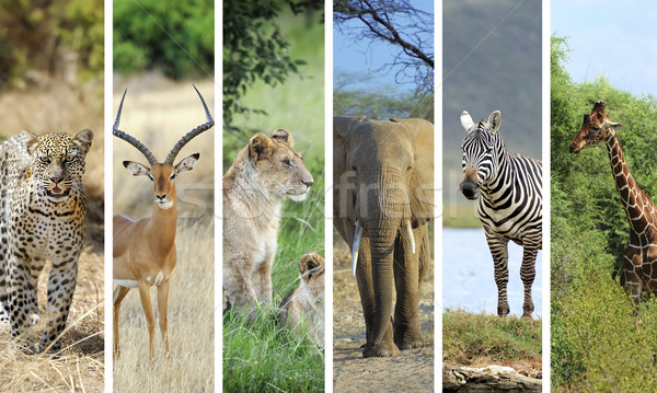 アフリカ 動物 コラージュ 写真 草 夏 ストックフォト © byrdyak