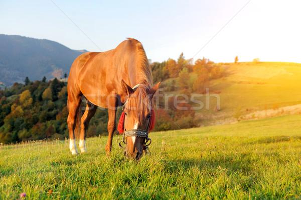 Horse on pasture Stock photo © byrdyak