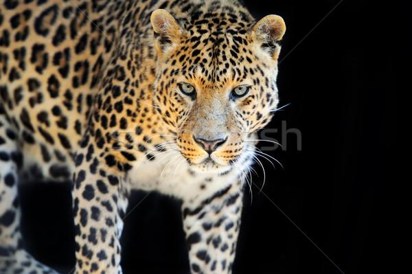 Leopárd közelkép vad sötét arc természet Stock fotó © byrdyak