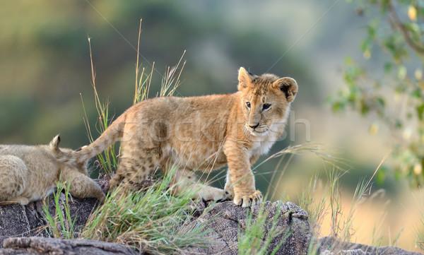 Сток-фото: лев · африканских · парка · Кения · Африка