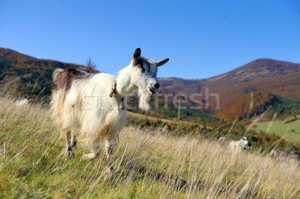 Goat in mountain. Autumn season Stock photo © byrdyak