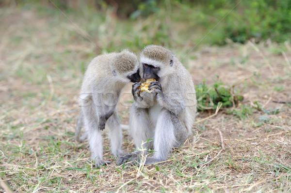 Stock fotó: Majom · eszik · alma · park · Kenya · Afrika