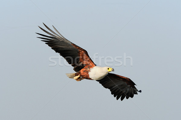 Afrika balık kartal uçan Stok fotoğraf © byrdyak
