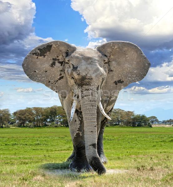 Stock fotó: Elefánt · nagy · sétál · szavanna · Kenya · Afrika