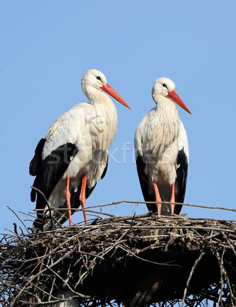 Zwei Storch Nest Frühling Wolken Stock foto © byrdyak