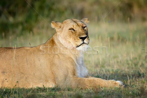 Сток-фото: лев · парка · Кения · Африка · кошки
