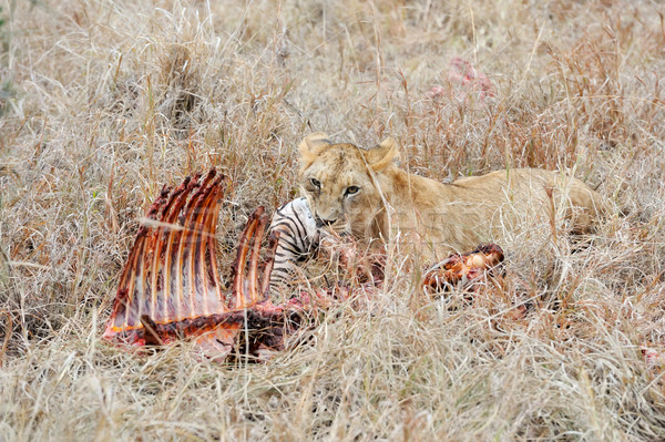 Сток-фото: еды · зебры · лев · парка · Кения · Африка