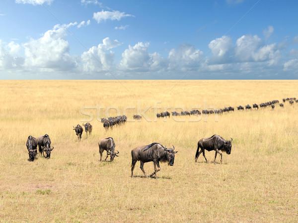 Wildebeest Stock photo © byrdyak
