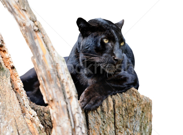 Black leopard isolated on white background Stock photo © byrdyak