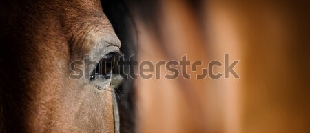 Eye of Arabian bay horse Stock photo © byrdyak