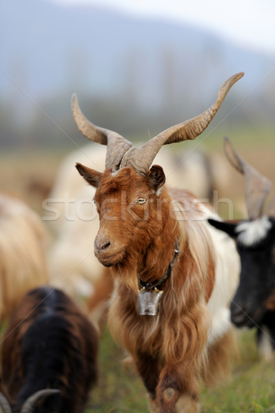 Goat in meadow Stock photo © byrdyak