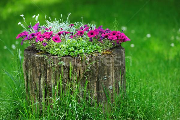 Beautiful Petunia flowers grow Stock photo © byrdyak