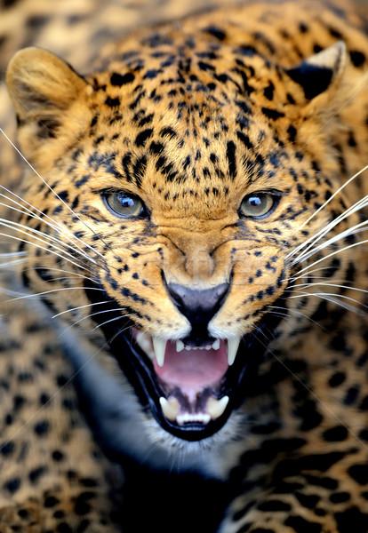 Leopard портрет лице Африка черный джунгли Сток-фото © byrdyak