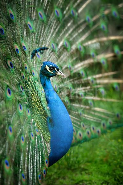 Portret mooie pauw veren uit schoonheid Stockfoto © byrdyak