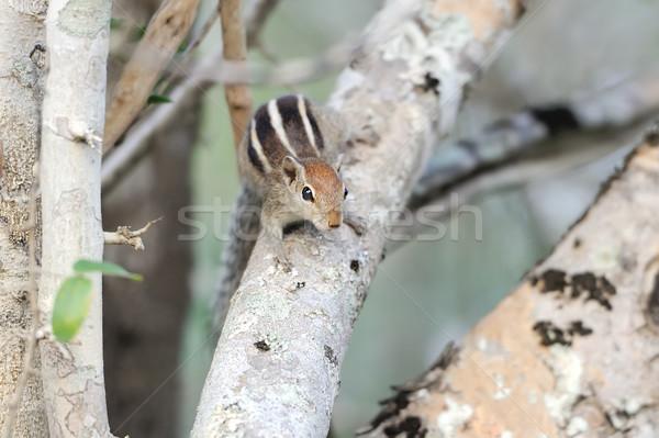çizgili sincap ağaç Sri Lanka bahar gözler Stok fotoğraf © byrdyak