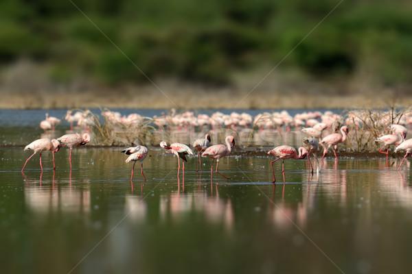 Lac Kenya Afrique peu profond eau Photo stock © byrdyak