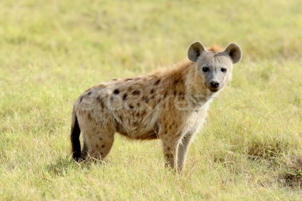 Hyäne Porträt Park Kenia Hund weiß Stock foto © byrdyak