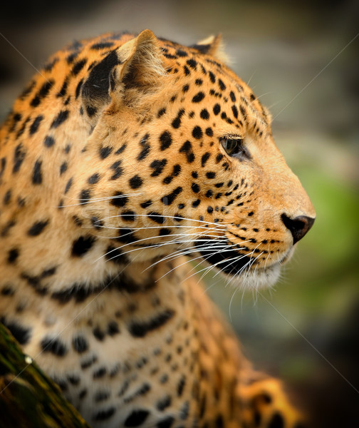 Leopard portrait yeux Afrique animaux fourrures Photo stock © byrdyak
