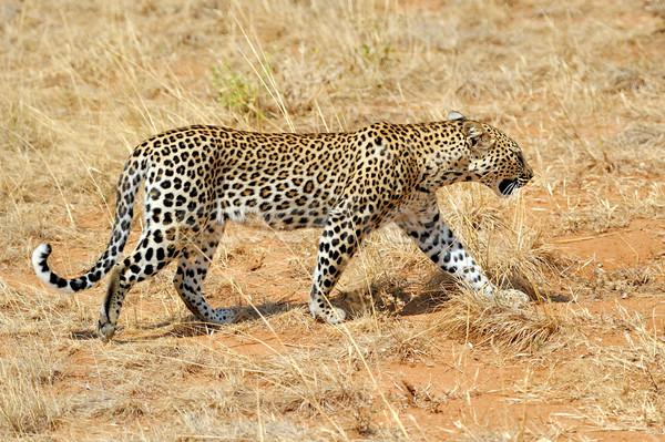 Leopardo África árbol madera gato África Foto stock © byrdyak