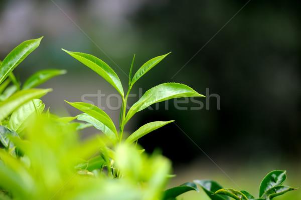 Foto d'archivio: Tè · foglie · bud · Sri · Lanka · cielo · primavera